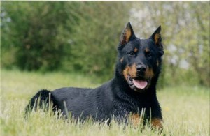 Beauceron - picture