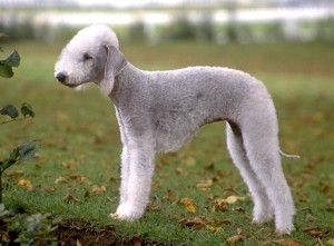 Bedlington Terrier - picture