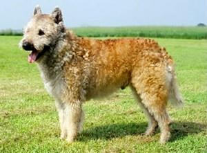 Belgian Shepherd Laekenois - pictures