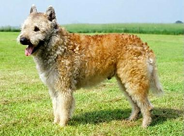 Kuvasz Puppies Price Belgian Shepherd Laeke...