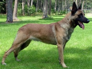Belgian Shepherd Malinois - picture
