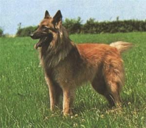 Belgian Shepherd Tervuren - picture