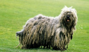 Bergamasco - picture