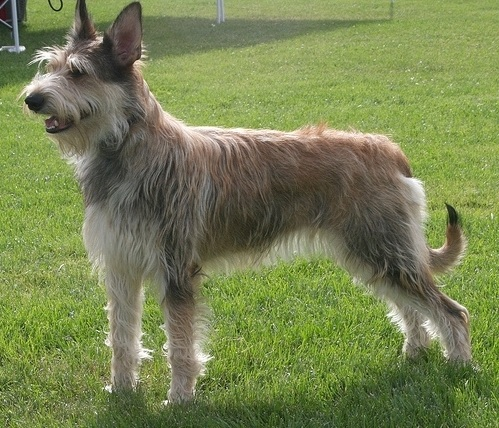 Berger Picard Dog Breed Information Pictures And Facts