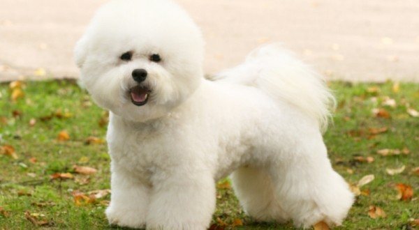 Bichon Frise Dog Breed Information Pictures And Facts
