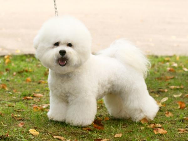Kuvasz Puppies Price Bichon Frise dog breed...