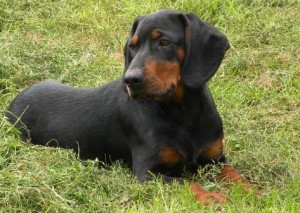 Black and Tan Coonhound - picture