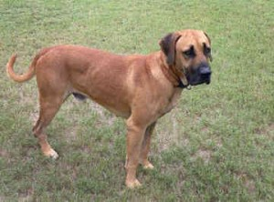 Black Mouth Cur - picture