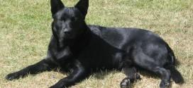 Black Norwegian Elkhound - picture