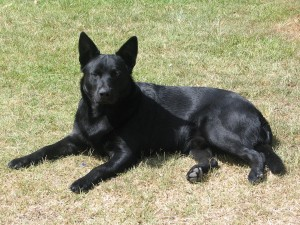 Black Norwegian Elkhound - picture