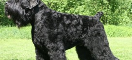 Black Russian Terrier - picture
