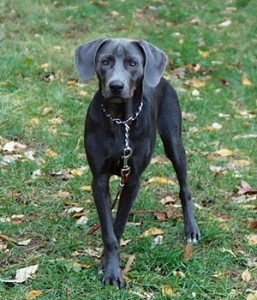 Blue Lacy - picture
