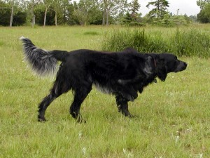 Blue Picardy Spaniel - picture