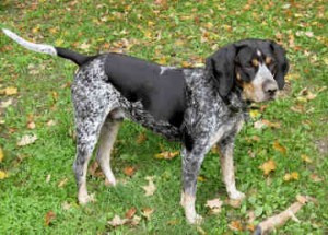Bluetick Coonhound - picture
