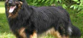Bohemian Shepherd - picture