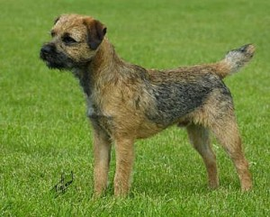 Border Terrier - picture