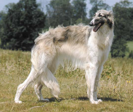 Borzoi Dog Breed Information Pictures And Facts
