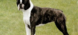 Boston Terrier - picture