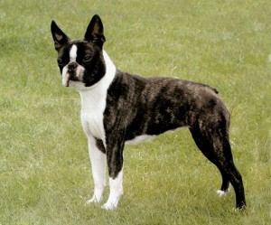 Boston Terrier - picture