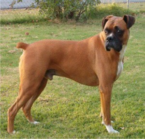 Boxer dog breed - picture