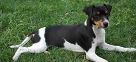 Brazilian Terrier - picture