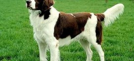 Brittany Spaniel - picture