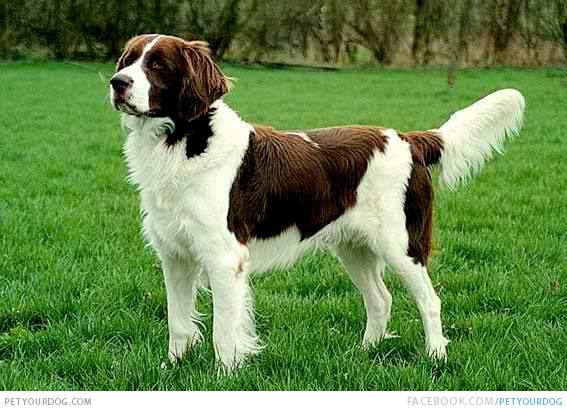Brittany Spaniels Liver All About Brittany Spaniel Dog