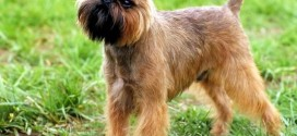 Brussels Griffon - picture
