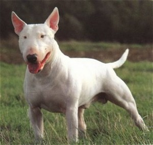 Bull Terrier - picture