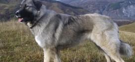 Carpathian Sheepdog - picture