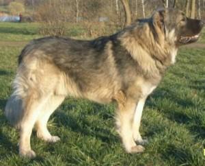 Caucasian Shepherd - picture