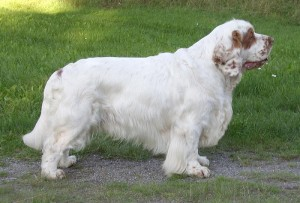 Clumber Spaniel - picture
