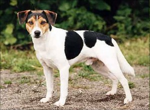 Danish-Swedish farm dog - picture