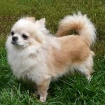 Long-coat Chihuahua - picture