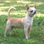 Smooth-coat Chihuahua - picture