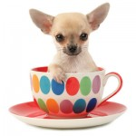 Teacup Chihuahua - picture