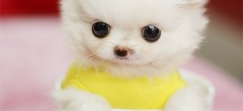 white teacup dog - pictute