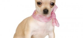 Types of Chihuahuas - picture