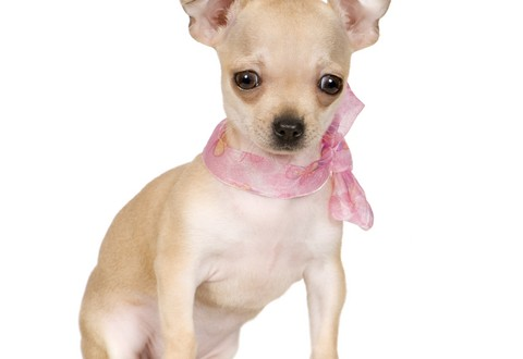 Different types of Chihuahuas | alldogsworld.com