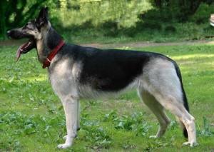 Picture East-European Shepherd