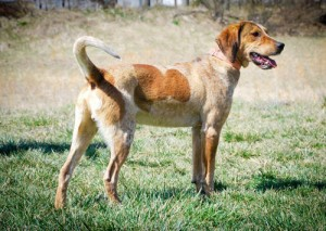 English Coonhound - picture