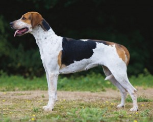 picture of English Foxhound