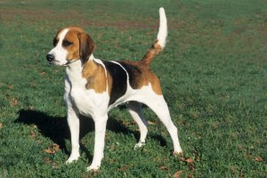 English Foxhound - picture