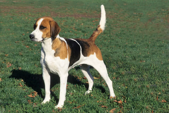 English Foxhound dog breed information, pictures and facts ...