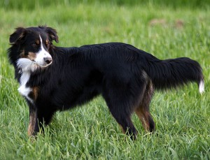 English Shepherd - picture