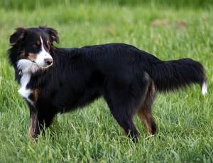 English Shepherd - picture
