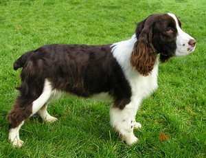 English Springer Spaniel - picture