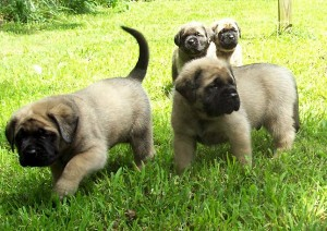 English Mastiff Puppies - picture