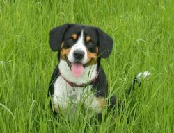 Entlebucher Mountain Dog - photo