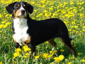 Entlebucher Mountain Dog - picture